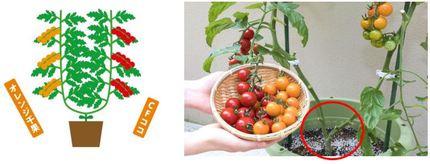 タキイ種苗、ベランダ菜園や自由研究などに最適な接ぎ木苗シリーズ「うりふたつ CFココ&オレンジ千果」を限定販売